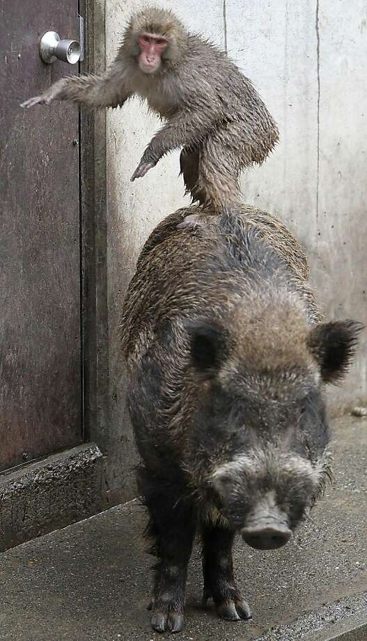 Apparently riding the pig like it's a small horse is ENCOURAGED IN THIS ESTABLISHMENT!Too bad for Shishiro, the 5-year-old Japanese wild boar at Hamura Zoo in Tokyo. Photo: Koji Sasahara, Associated Press