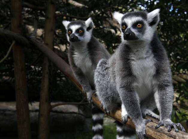 Ring-tailed lemurs hang out at the Oakland Zoo in Oakland, Calif. on Monday, Sept. 5, 2011. Keepers say their lemurs may be used to earthquakes since the zoo is located close to the Hayward fault. Photo: Paul Chinn, The Chronicle