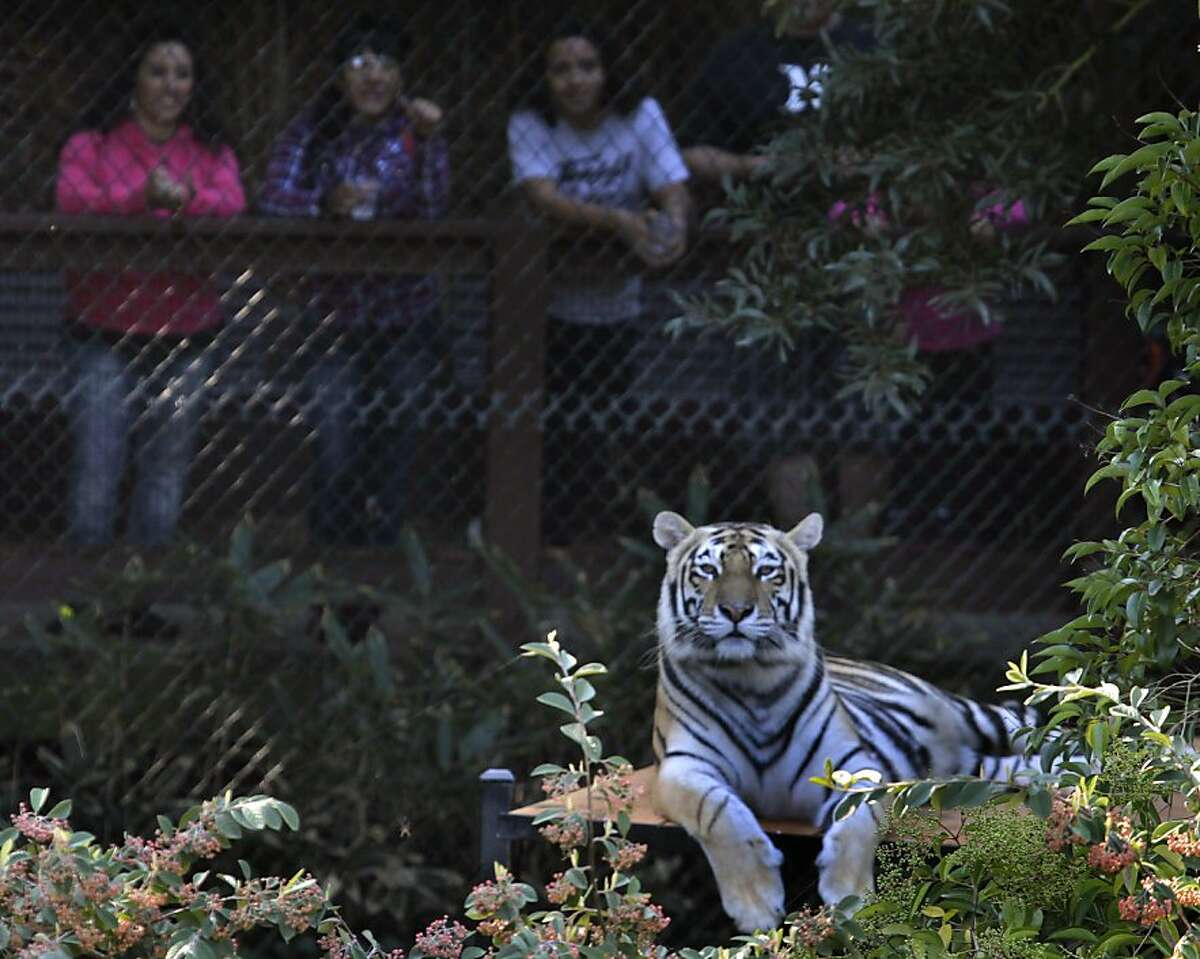 Visitors look at Ginger, one of four tigers rescued from an overpopulated Texas zoo, at their ne home at the Oakland Zoo in Oakland, Calif. on Tuesday, Oct. 18, 2011. Molly, Milou, Grace and Ginger join the zoo's resident tiger Torako and will make their public debut on Thursday.