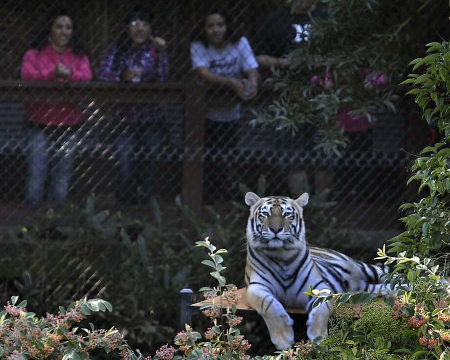 In this file photo, visitors look at Ginger, one of four tigers rescued from an overpopulated Texas zoo, at their new home at the Oakland Zoo in Oakland. Photo: Paul Chinn, The Chronicle