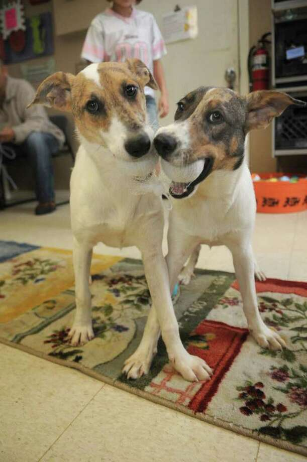Rose, left, and Reba, 5-month-old shepherd mixes that are available for adoption, enjoy some play time at a local shelter. Photo: Jerry Baker