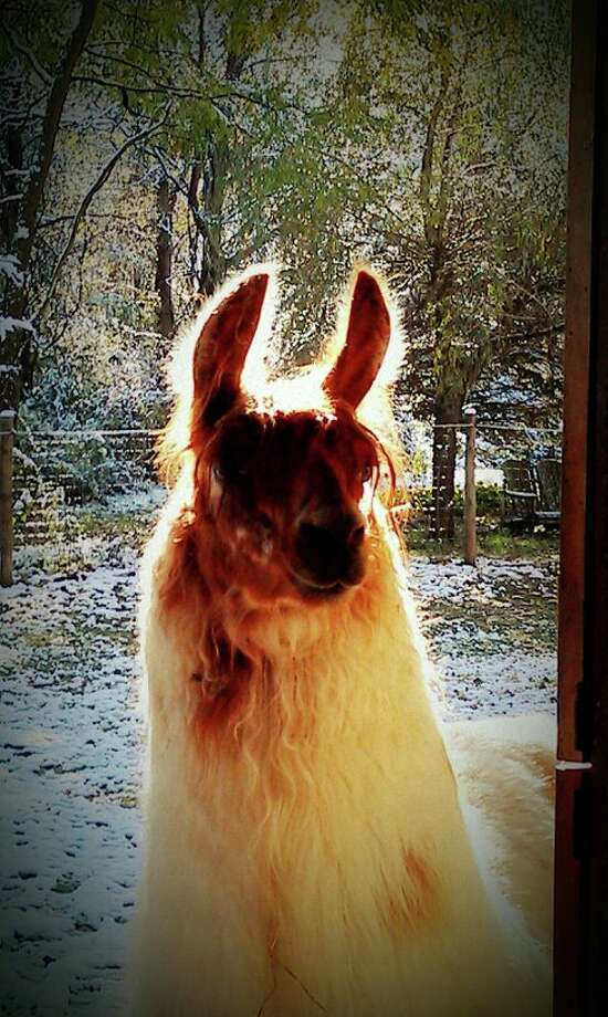 "Teri Conroy This llama, backlit by the sun, has an official name of LILCO Bells and Whistles, but Teri Conroy of Guilderland says calls her Miss Tank, because she is huge. ""At two years old, she is as big as my three-year-old llamas. Her fiber is dreamy to spin!"" Conroy says."