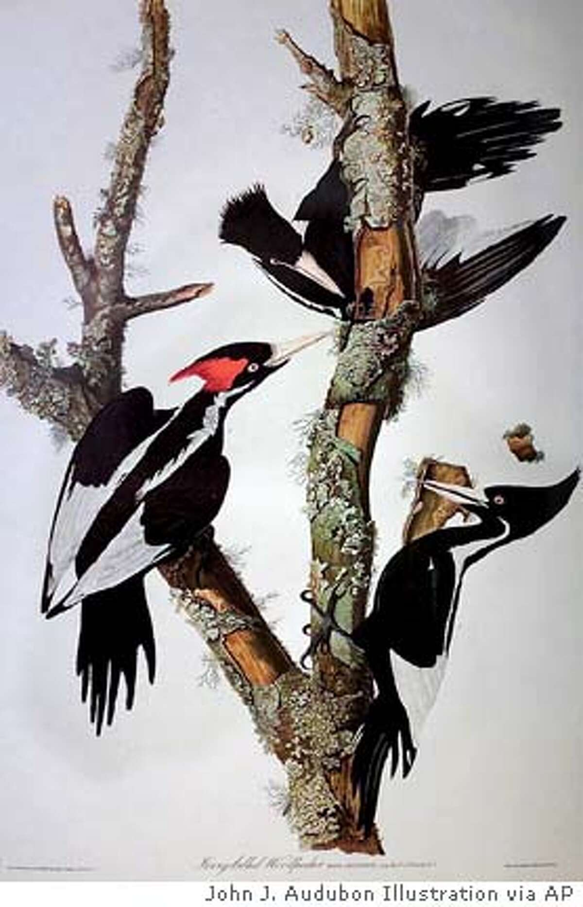 **FILE** This print showing Ivory-billed Woodpeckers, from an engraving by John J. Audubon, was released by the Massachusetts Audubon Society in 2000. The ivory-billed woodpecker, thought to be extinct, has reportedly been sighted in eastern Arkansas, a Cornell University researcher says in a paper released Thursday, April 28, 2005. John W. Fitzpatrick of Cornell University said there have been several independent sightings of a bird that appears to be an ivory-billed woodpecker. (AP Photo/Massachusetts Audubon Society, File)