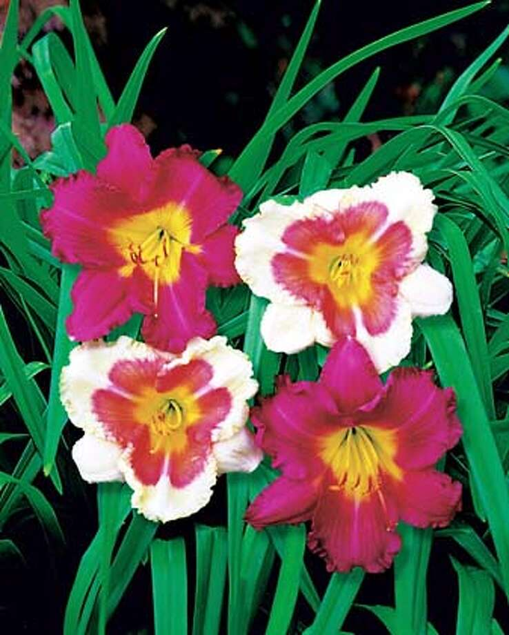 When My Sweetheart Returns' available as a bareroot plant for $18.95 each 'Dragon's Eye' available as a bareroot plant for $24.95 each