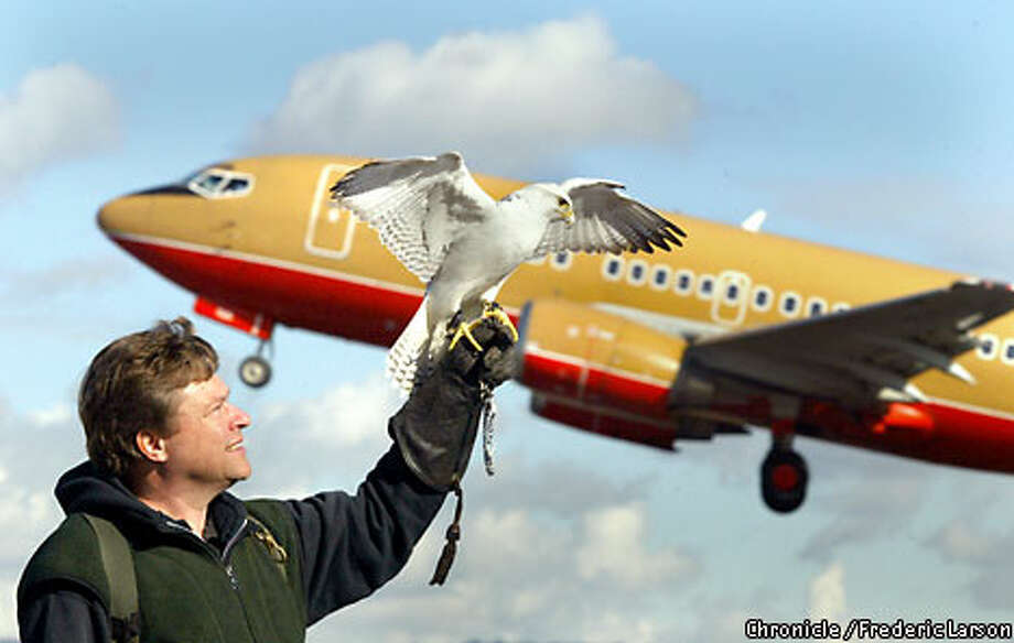 Michael Pociecha's gyrfalcon scares other birds away at Oakland International Airport. Chronicle photo by Frederic Larson