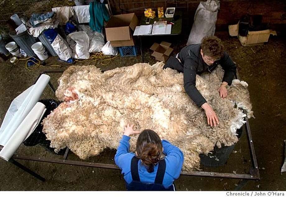 Cormo Sheep and Wool Farm, 7311 Lindsay Ave. Orland,CA.  Sheep shearing day, The Cormo breed originates in Australia.  Sue Reusers (top) and Toni Van Dykre (bottom) lay out the just sheared wool on the wool table to check , and package in unused newspaper.  photo/John O'Hara Photo: John O'Hara