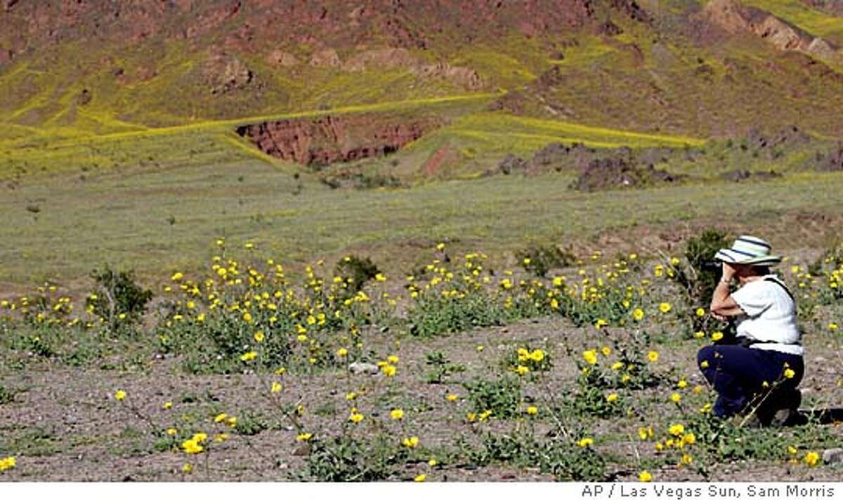 With wildflowers carpeting the floor of Death Valley National Park, giving it a yellow hue, Ruth Pritchard from Santa Rosa, Calif., takes photos of blooms Monday, March 7, 2005. Heavy winter rains have led to an explosion of wildflowers throughout the usually barren landscape. SAM MORRIS / LAS VEGAS SUN