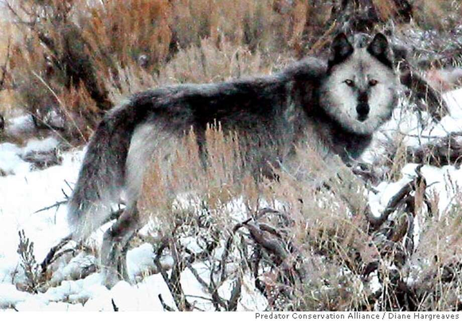 ** FILE ** This undated file photo provided by the Predator Conservation Alliance shows a gray wolf passing thru Lamar Valley inside Yellowstone National Park, Wyo. A similar gray wolf was shot March 6, 2005, by a cattle rancher in Idaho after the wolf reportedly threatened the herd. The shooting marked the the first time one of the federally protected predators has been killed under new guidelines for Montana and Idaho that took effect in February. Wolves were reintroduced into the region in 1995. (APPhoto/Predator Conservation Alliance, Diane Hargreaves, File) Photo: DIANE HARGREAVES