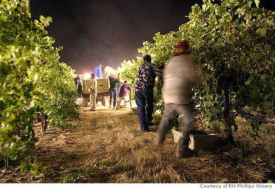 HARVEST26.JPG Workers at R.H. Phillips Winery in the Dunnigan Hills harvest Viognier grapes by hand at 10 p.m. on Aug. 20, 2004. The grapes are picked at night because the cooler temperatures keep the grapes and the workers fresh and out of daytime heat. Courtesy of RH Phillips Winery
