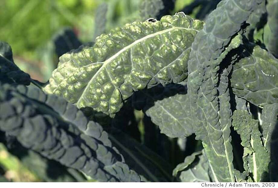 DSC_0069.JPG Lacinato, also known as Dinosaur Kale, is one of the many varieties of vegetables that are grown at the Occidental Arts and Ecology Center. Adam Traum / The Chronicle/9/19/03/SF, CA Photo: Adam Traum