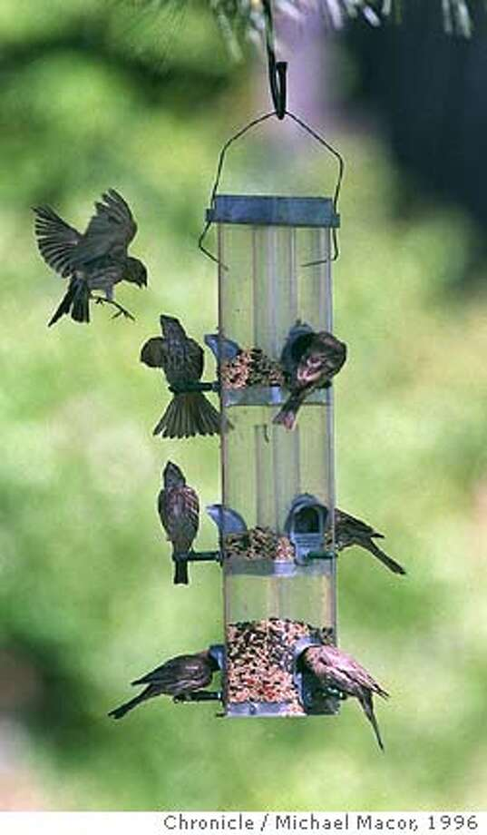 """BIRDS 2/C/15AUG96/PZ/MACOR Joe and Inge Rick in their backyard which has been turned into a bird sanctuary. They have a total of 7 feeders to keep the birds happy. A group of """" House Finches"""" surround a feeder. Chronicle Photo: Michael Macor CAT Photo: MICHAEL MACOR"""