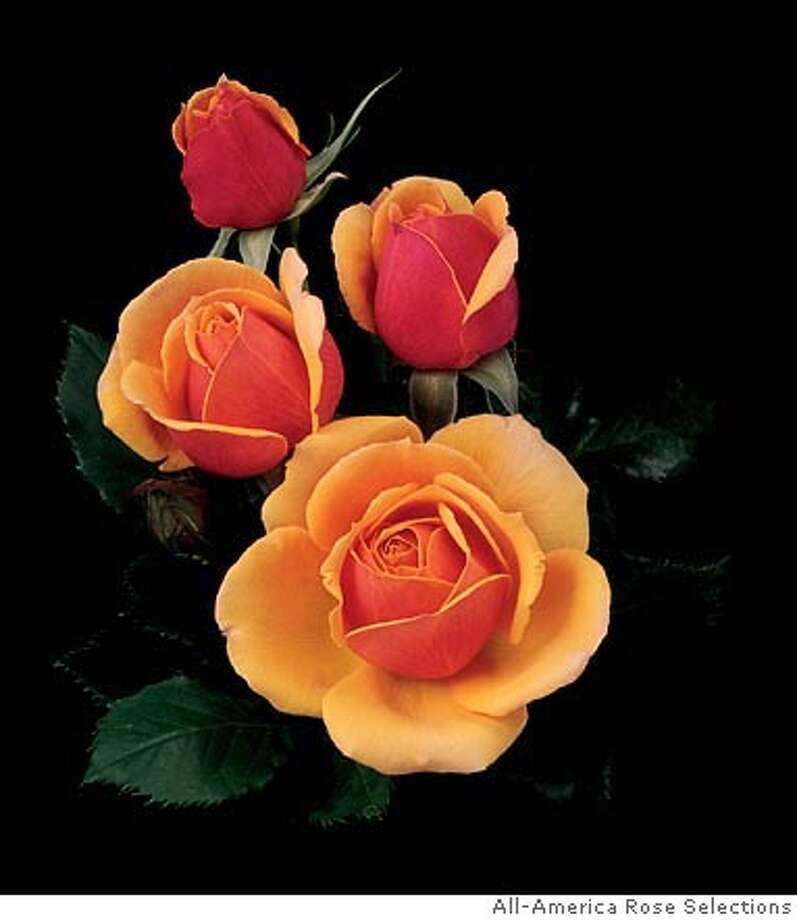 "The ""About Face"" is one of the four 2005 All-America Rose selections.  Photo courtesy All-American Rose Selections"