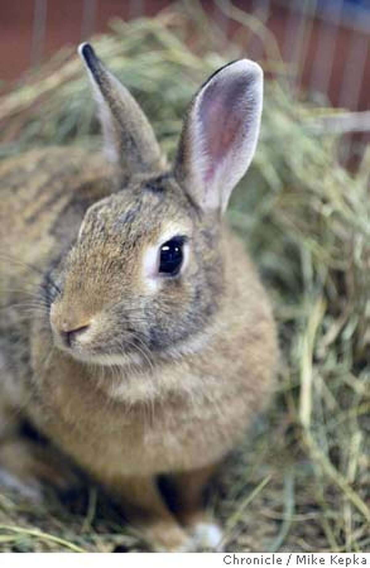 Lucky a mixed breed rabbit was rescued after being strapped with explisives and thrown in Lake Don Castro lake in Castro Valley on July 13th. MIKE KEPKA/The Chronicle
