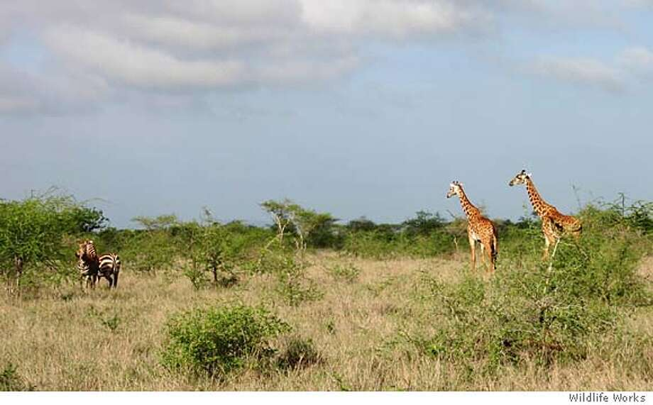 Giraffes and zebras roam in Rukinga Wildlife Sanctuary, 80,000 acres of Kenya bush land operated by Wildlife Works of Sausalito, which has enlisted locals in a campaign to protect native species. Photo courtesy of Wildlife Works