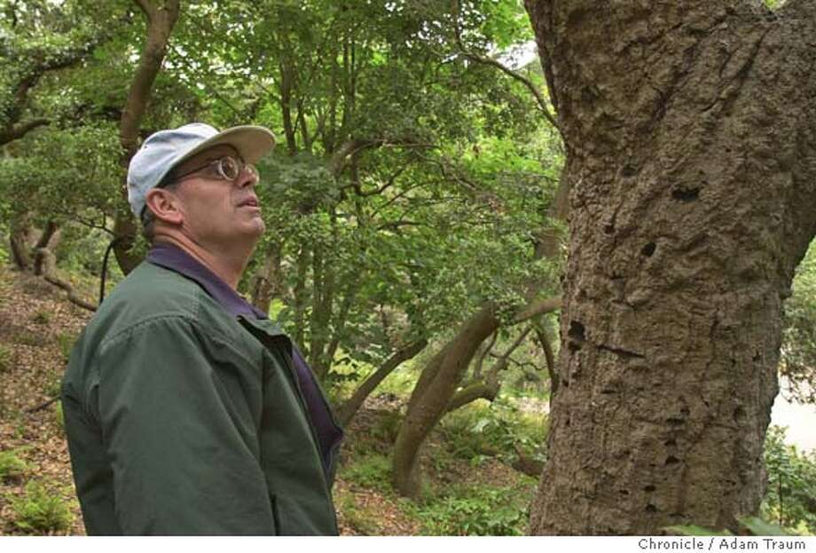 Mike Hegerhorst, a Park Section Supervisor at Golden Gat e Park, looks at a tree that was tested for Sudden Oak Death, which has been found in trees in Golden Gate Park, in the AIDS Memorial Grove. San Francisco becomes the 14th county in the state to have sudden oak death. Photo shot 8/19/04.  Photo taken on 8/20/04 in san francisco, ca. Photo by Adam Traum/San Francisco Chronicle Photo: Adam Traum