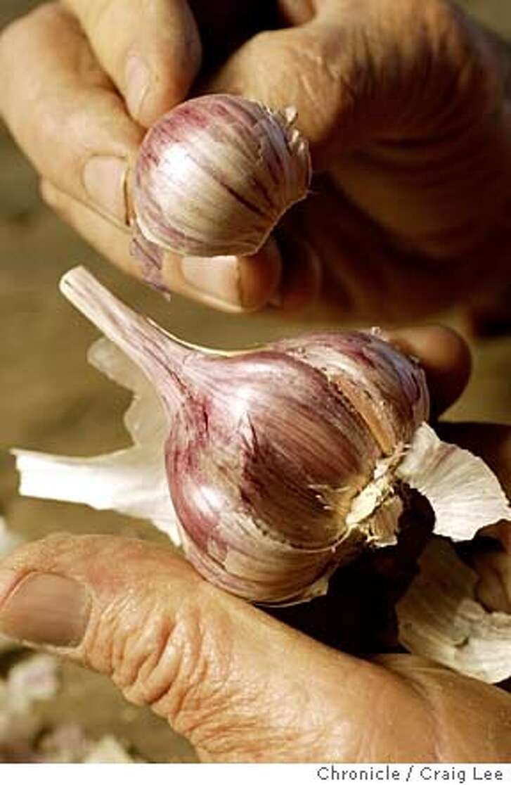 Close-up photo of a peeled back Persian Star garlic showing the redder part inside, on the hands of Wallace Condon. For a Seasonal Cook on specialty garlic. Wallace Condon grows Persian Star, Rocambole and Inchelium Red garlic out of Lodi. He sells them at the San Francisco Farmers Market. Event on 7/22/04 in Lodi. Craig Lee / The Chronicle