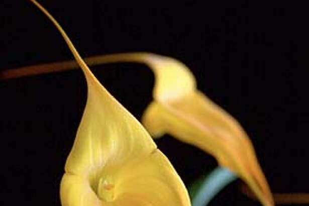 """ORCHID19D-C-06FEB03-HM-PC  A """"Masdevallia Golden Monarch"""" was created by Tom Perlite. Jack Halpern is an orchid enthusiast and grows Odontoglossums and miniature Cattleyas species.  PAUL CHINN/SF CHRONICL CAT"""