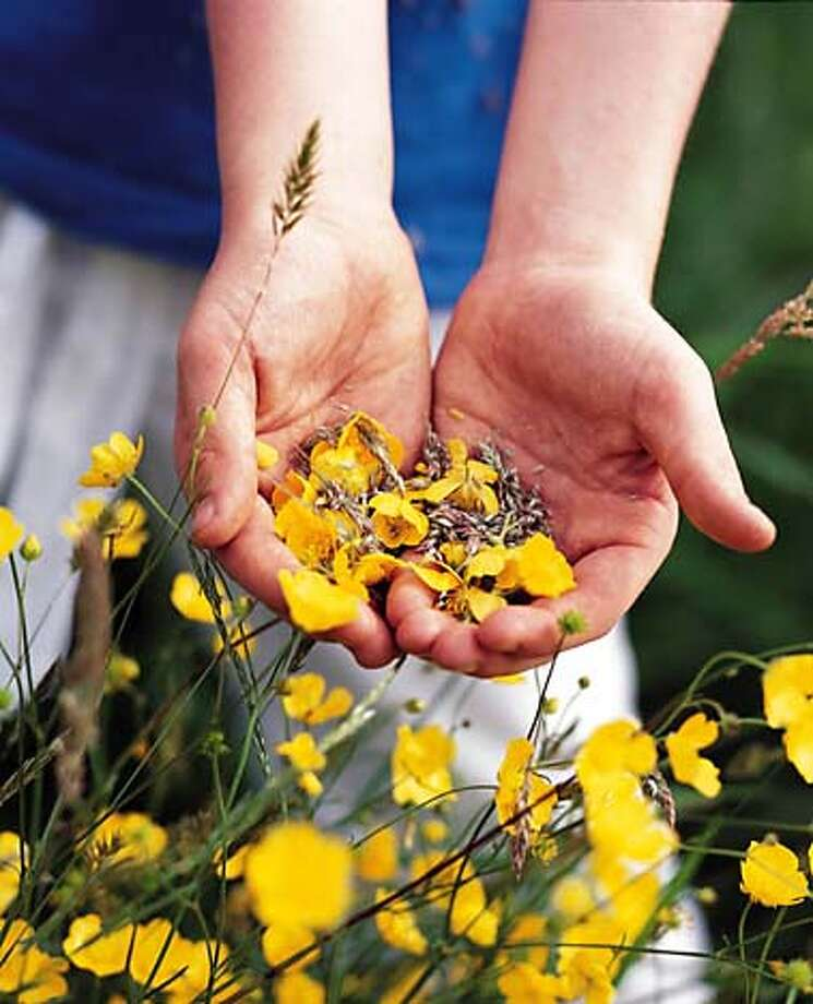 TRAVEL GARDENS -- Child's hands with buttercups at RHS Wisley Gardens, Surrey. Photo: Martin Brent