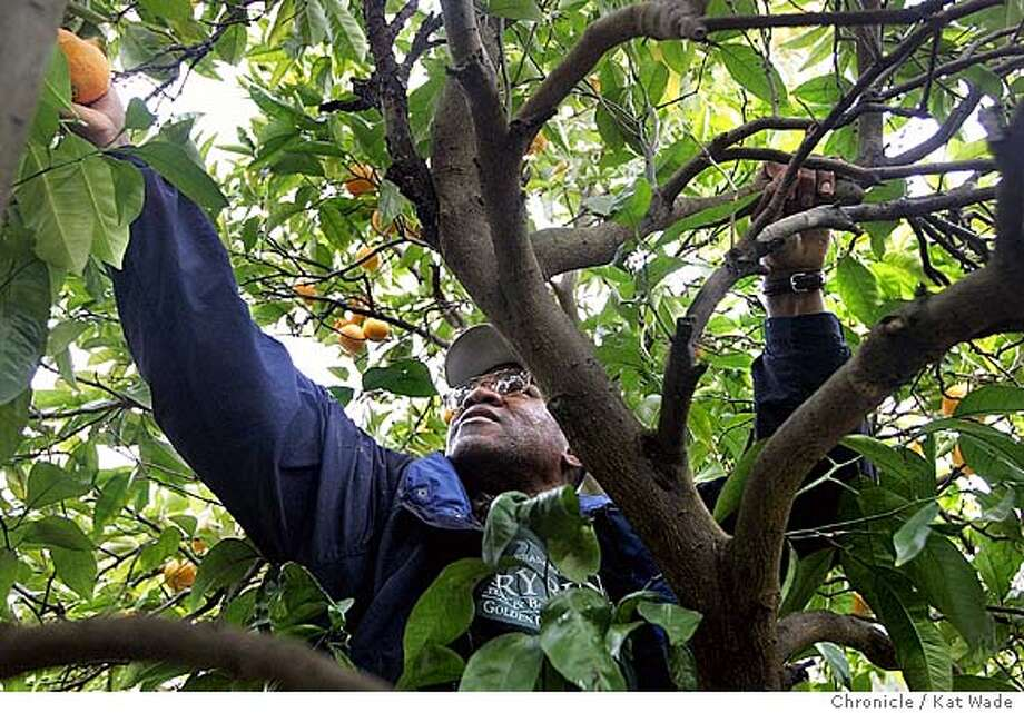 Shyaam Shabaka picks Valencia oranges from one of his trees on his 5.5-acre EcoVillage. Chronicle photo by Kat Wade