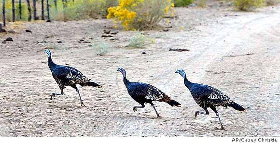 Three wild turkeys cross a dirt road off of Highway 178 east of Onyx, Calif., Tuesday, Oct. 15, 2002 while traveling with about 12 turkeys. (AP Photo/The Bakersfield Californian, Casey Christie) CAT STAND ALONE, CREDIT PLEASE Photo: CASEY CHRISTIE