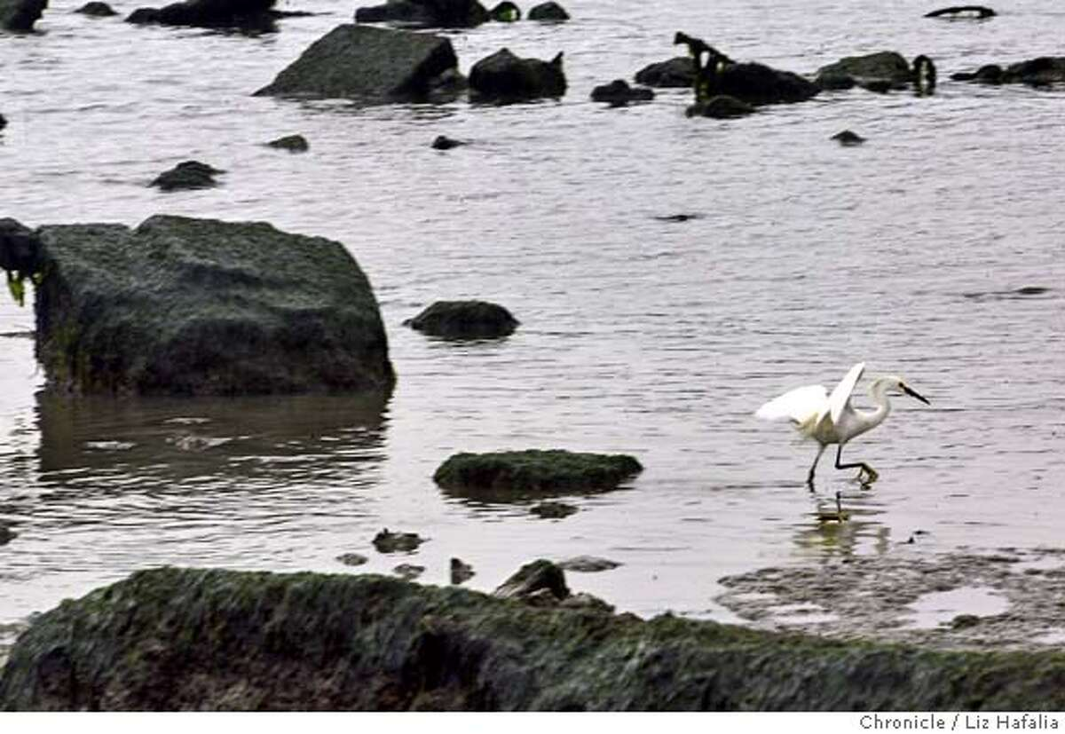 Five years ago, San Francisco officially opened Heron's Head Park, an unlikely preserve built on a giant pile of rubble. It's been turned into a teeming community of native plants and shorebirds. Shot on 5/26/04 in San Francisco. LIZ HAFALIA / The Chronicle