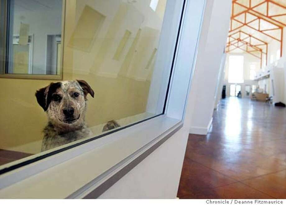 Bradley, an Australian Cattle Dog/ Mix peers out into the new facility from his habitat as he awaits a new home. The Humane Society of Sonoma County is opening a new state-of-the-art Center for Animals.  Deanne Fitzmaurice/The Chronicle Photo: Deanne Fitzmaurice