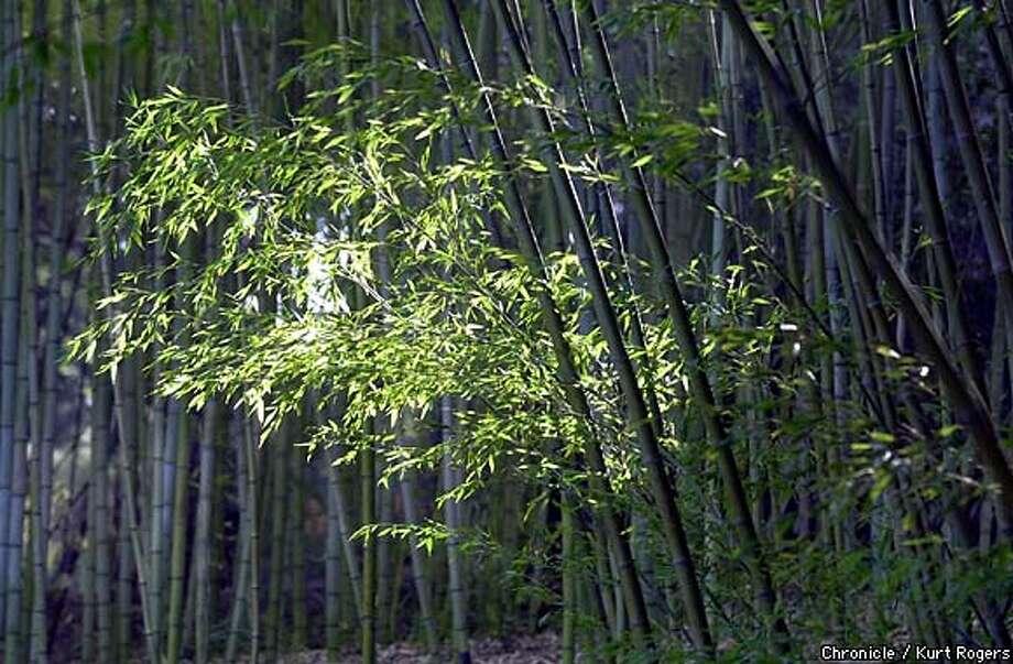 Sunshine penetrates Hakone Gardens' Bamboo Park.  Chronicle photo by Kurt Rogers