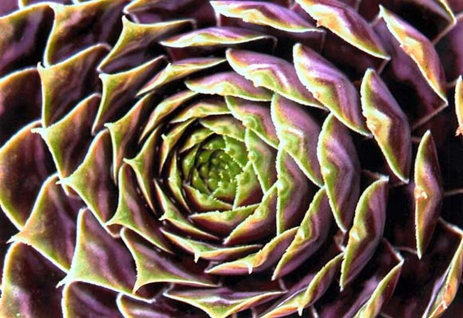 Strybing Arboretum and Botanical gardens September Plant sale and open nursery, 10a-1p 9/13/03 in Golden gate park.  Pictured is a Sempervivum which is one of the type of plants which will be on sale.