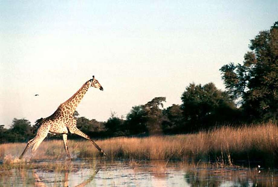 Full speed ahead: A giraffe powers through the swamps of the Okavango, a rare inland delta the size of Massachusetts. Photo by Margo Pfeiff, special to the Chronicle