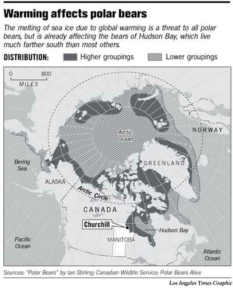 Warming Affects Polar Bears. Los Angeles Times Graphic
