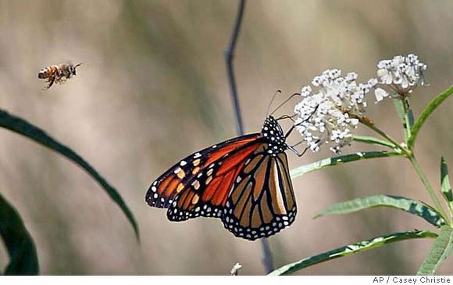 A Monarch butterfly and a honeybee move in for the same plant Tuesday, June 22, 2004, near Bakersfield, Calif. (AP Photo/The Bakersfield Californian, Casey Christie) MANDATORY CREDIT, MAGS OUT, Photo: CASEY CHRISTIE