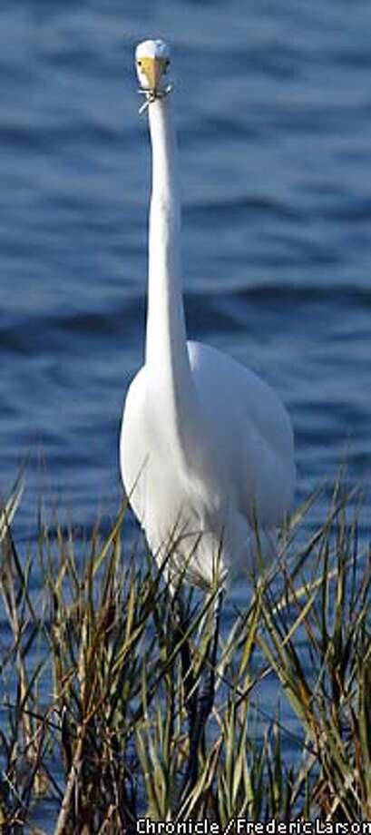 EGRET-C-02DEC02-MT-FRL: Long before the Presido became a U.S. military post, the waterfront orginally was a system of marshes which was recontructed back 1999 for such lucky wildlife like the great white Egret which feeds of the wetlands. Chronicle photo by Frederic Larson