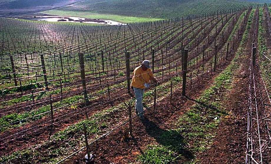 CHRONICLE 02/21/94 // TREES HARBORING PREDATORS WILL PLANTED AMONG THE VINES AT MONDAVI VINEYARD AS A NATURAL METHOD OF PEST CONTROL CAT Photo: ERIC LUSE