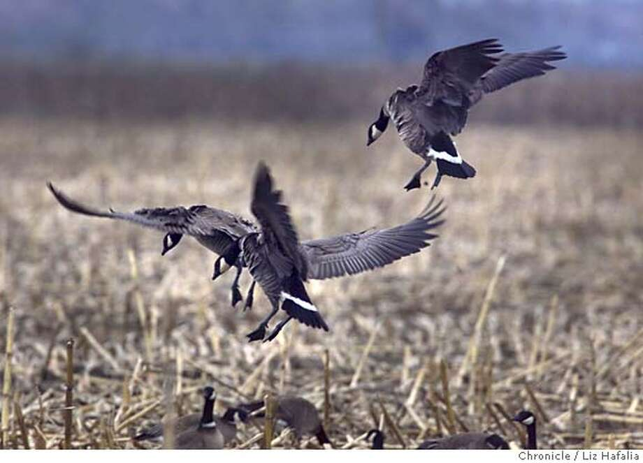 ALEUTIAN3-C-05MAR01-CZ-LH --Aleutian Canada geese at Mapes ranch in Modesto. The Aleutian Canada goose is on the endangered list, soon to be taken off the list because they are now numbering 30,000 to 40,000. (BY LIZ HAFALIA/THE SAN FRANCISCO CHRONICLE) Photo: LIZ HAFALIA