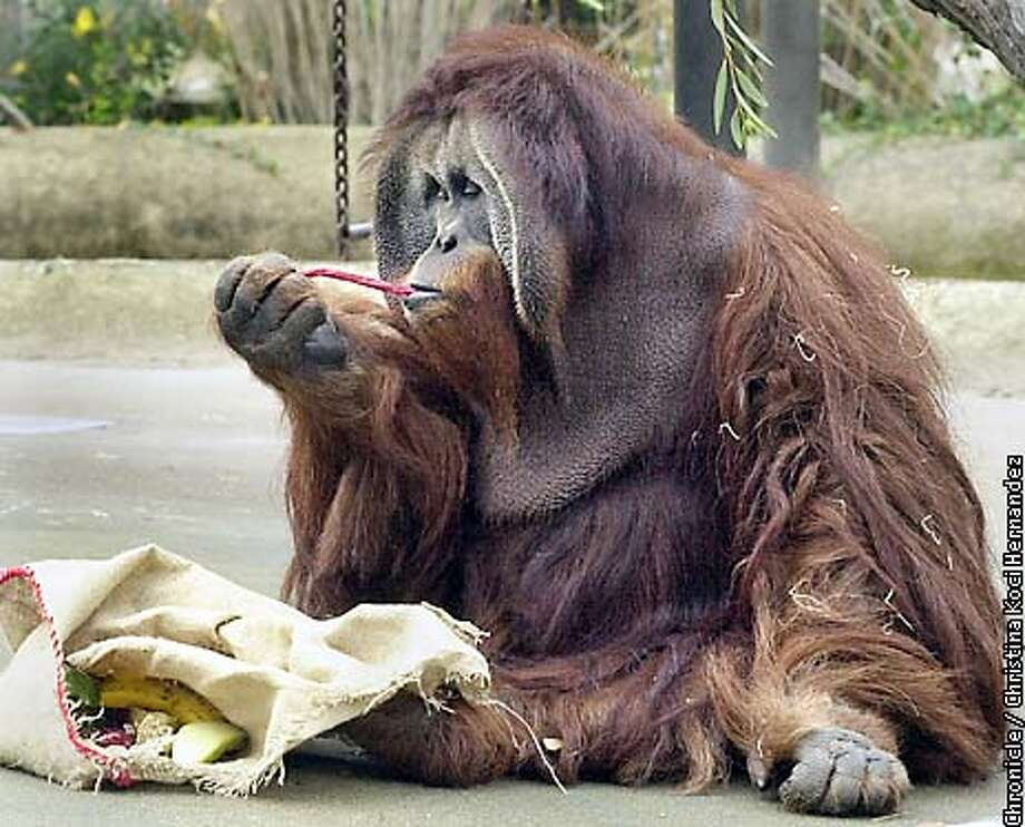 "ZOO010-C-09DEC00-SZ-CH  San Francisco Zoo animals get presents in form of food and toys in wrapped packages and stockings.At the san Francisco Zoo today, ""Rusty"" an orangutan enjoys a red liquorice stick that was in her ""stocking"" .It also contained fruits and other treats. Photo: CHRISTINA KOCI HERNANDEZ"