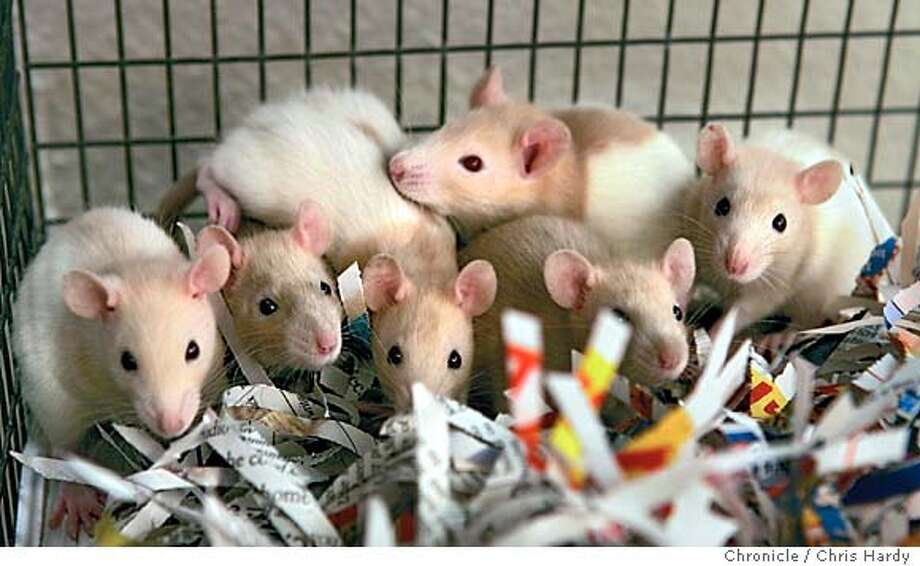 122104_rats_ch007.jpg  SF Animal Care and Control puts 178 rats up for adoption. They had been turned in last week by somebody who found them in a cage in their yard. in San Francisco,CA on12/21/04  San Francisco Chronicle/Chris Hardy MANDATORY CREDIT FOR PHOTOG AND SF CHRONICLE/ -MAGS OUT Photo: Chris Hardy