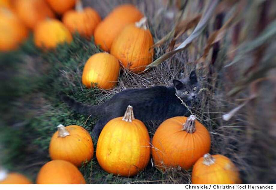 A cat frollicks through Arata Pumpkin & Animal Farm .Pumpkin patches in Half Moon Bay.  CHRISTINA KOCI HERNANDEZ/CHRONICLE Datebook#Datebook#SundayDateBook#10/10/2004#ALL#Advance##0422374054 Photo: CHRISTINA KOCI HERNANDEZ