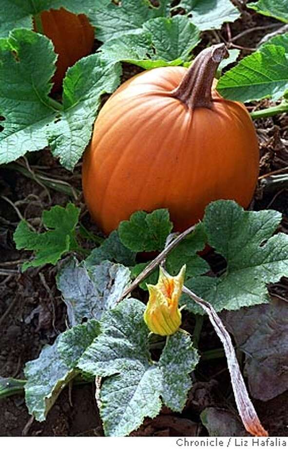 WHAT'S09PMPKb/C/02OCT96/FD/LH--Pumpkins/close-up at 4-C's Pumpkin Patch at Half Moon Bay. This is a pumpkin actually from the vine. Liz Hafalia Photo: LIZ HAFALIA