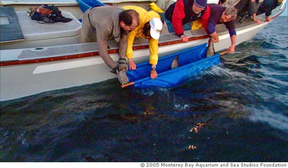 SHARK01_PH6.JPG Tagged white shark is lowered by a Monterey Bay Aquarium team over the side of boat and into the outer waters of Monterey Bay for release after 6 1/2 months at the Monterey Bay Aquarium. PHOTO CREDIT: � 2005 Monterey Bay Aquarium and Sea Studios Foundation Photo: PHOTO CREDIT: