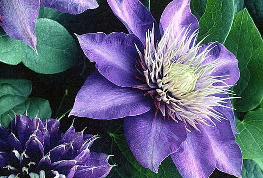 """The """"Multi-Blue"""" clematis from Wayside has purple-blue petals and a spiky central boss. (AP Photo/HO) ALSO RAN: 6/22/99 CAT Photo: HANDOUT"""