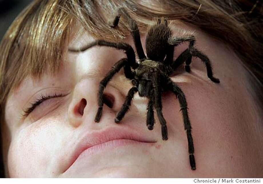 Henry Coe State Park hosts its 7th annual Tarantula Fest Saturday,  Event on 10/02/04 in Morgan Hill. Photo: Mark Costantini/S.F. Chronicle Photo: Mark Costantini