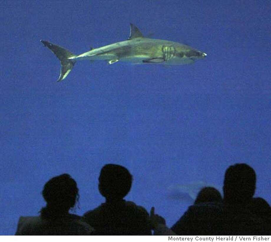 """The held at the Monterey Bay Aquarium became the longest-surviving white shark ever kept at an aquarium on Friday October 1st which became the 17th day at the aquarium. The four-foot four-inch female shark continues to eat and swim with ease in the """"outer bay"""" exhibit of the aquarium. Photo: Vern Fisher, Monterey County Herald, 10/1/04 Photo: Vern Fisher"""