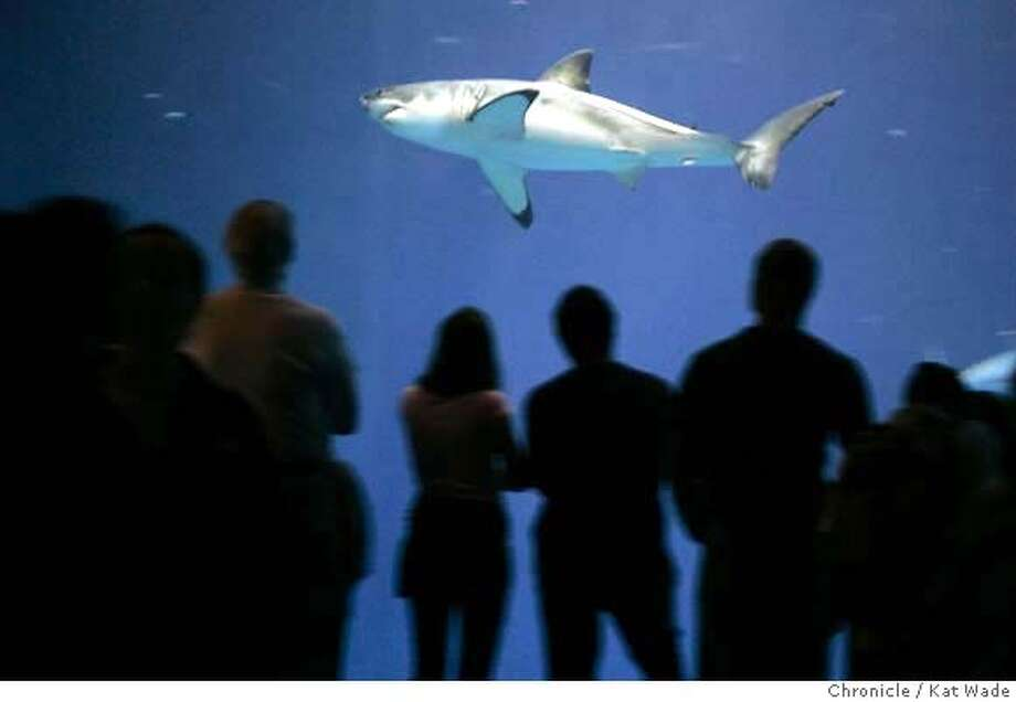 SHARK_115_KW.jpg  On 3/15/05 in Monterey at The Monterey Bay Aquarium where the latest attraction, a young 5 and one half foot female great white shark brought in from southern California has brought a 30 percent jump in visitorship and is seen by the Aquarium as a powerful ambassador that can educate millions of visitors about the need to protect this largely mysterious and increasingly endangered predator. But critics say it is wrong to pen the ocean-roaving shark and will ultimately hurt the species as other aquariums seek their own great white attraction to match Monterey Bay's.  Kat Wade/ The Chronicle MANDATORY CREDIT FOR PHOTOG AND SF CHRONICLE/ -MAGS OUT Photo: Kat Wade