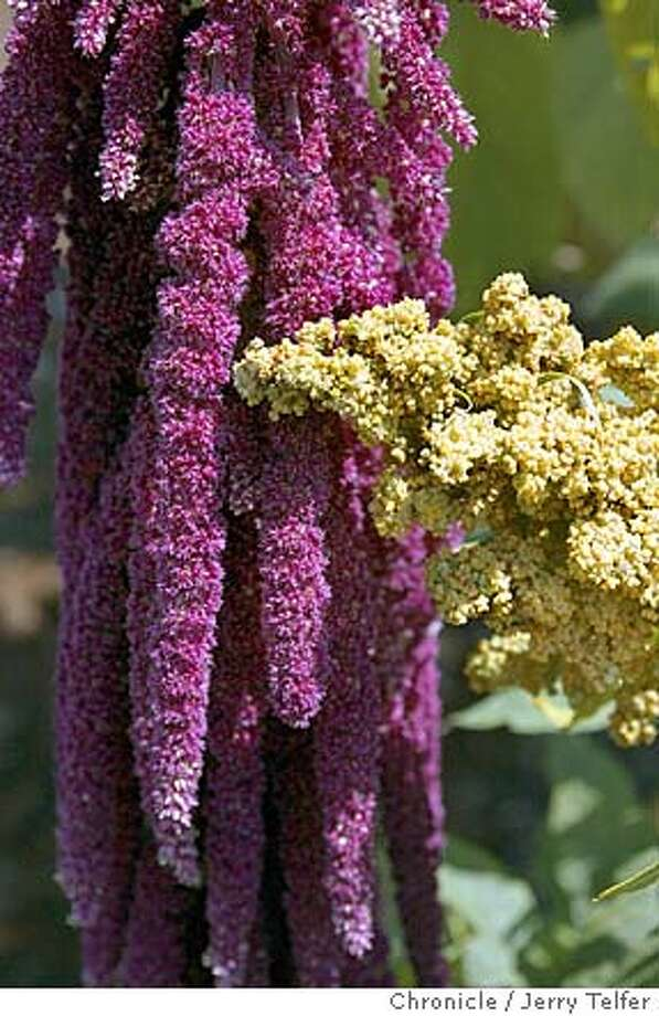 JOYCE28C-C-31JUL02-HM-JLT Two grain plants: vivid purple Amaranth from South America (left) and golden Quinoa (right) in the gardens at Copia food and wine museum in Napa, CA.  500 First Street - Napa, CA  CHRONICLE STAFF PHOTO BY JERRY TELFER NORTHERN CALIFORNIA MANDATORY CREDIT, PHOTOG AND SF CHRONICLE, , MAGS Photo: JERRY TELFER
