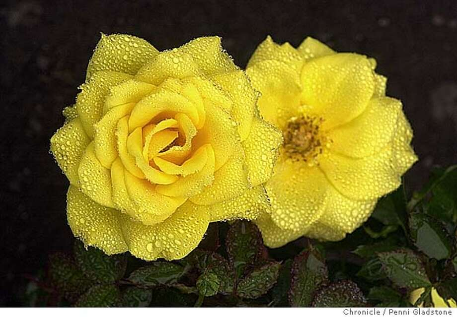 """Rose called, """"Shining Hour.""""GOLDEN gate park rose garden 7/29/04 in San Francisco.  Penni Gladstone / The Chronicle Photo: Penni Gladstone"""