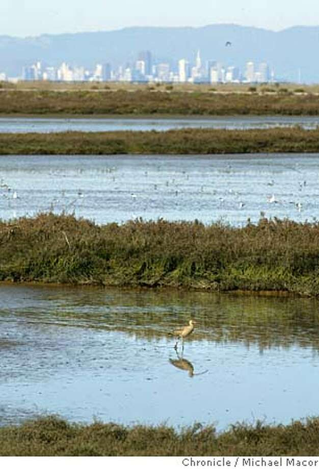 """Hayward Regional Shoreline Park, a """"Long Billed Curlew"""", walks along the marshh lands on the edge of SF Bay. A continued look into the East Bay Regional Parks system.  event on 2/10/04 in Hayward Michael Macor / The Chronicle Photo: Michael Macor"""