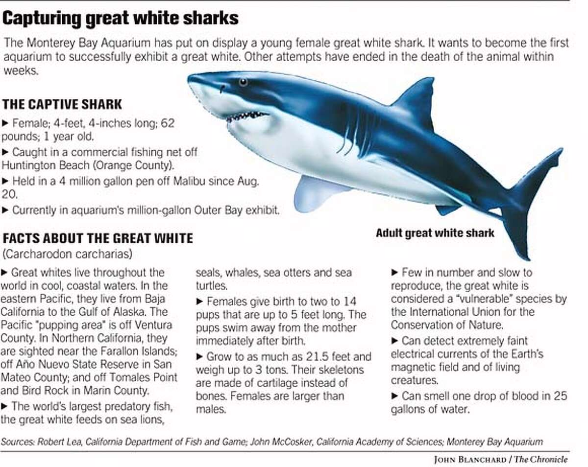 Capturing Great White Sharks. Chronicle graphic by John Blanchard