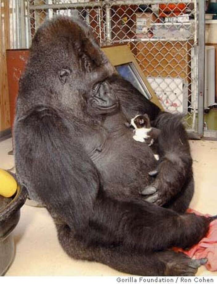 KOKO-C-02AUG00-MN-HO--Koko the gorilla and her kitten. PHOTO CREDIT: RON COHEN/GORILLA FOUNDATION Ran on: 02-18-2005  Koko the Gorilla seems to smile as she looks at a kitten. Koko has had many pets during her years at the Gorilla Foundation. Ran on: 02-18-2005  Koko and friend