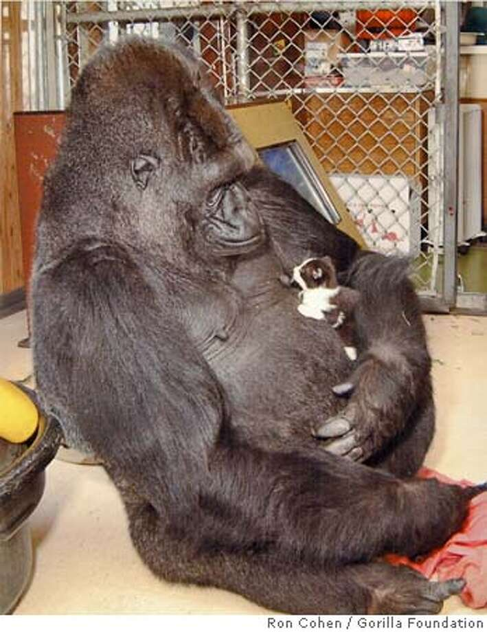 KOKO-C-02AUG00-MN-HO--Koko the gorilla and her kitten. PHOTO CREDIT: RON COHEN/GORILLA FOUNDATION