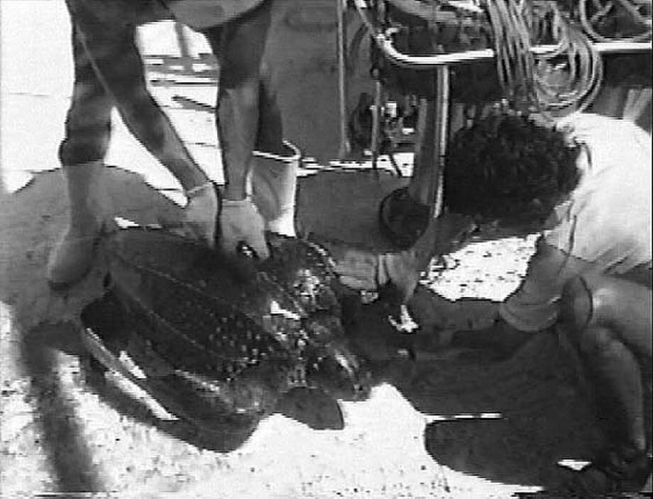 A fisherman works to free a leatherback sea turtle whose body was accidentally snagged on a fishing hook. Photo courtesy Sea Turtle Restoration Project